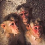 Photo of three hudling monkeys in Hampi, India
